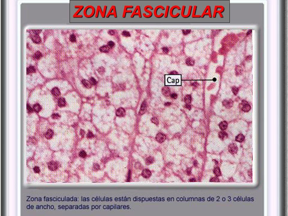 Capa delgada de células ubicada debajo de la cápsula, 15% de la corteza compone casi el 15% de la corteza suprarrenal Aldosterona Sintasa Aldosterona