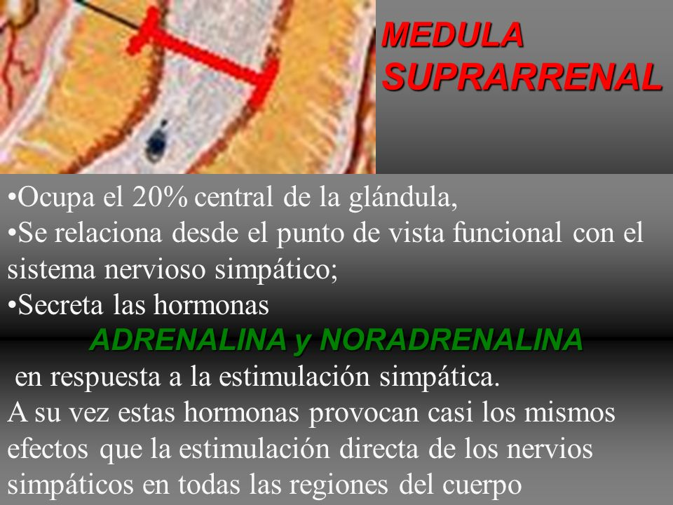 Cada glándula se compone se compone de dos porciones diferentes: MEDULASUPRARRENALCORTEZASUPRARRENAL