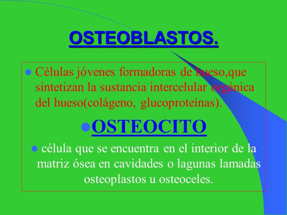 Elementos estructurales del tejido óseo: A.- CÉLULAS : Entre ellas tenemos: OSTEOBLASTOS OSTEOCITOS OSTEOPLASTOS U OSTEOCELES OSTEOCLASTOS