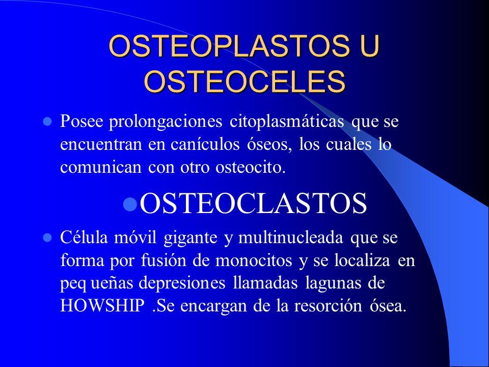 OSTEOBLASTOS. Células jóvenes formadoras de hueso,que sintetizan la sustancia intercelular orgánica del hueso(colágeno, glucoproteínas). OSTEOCITO cél