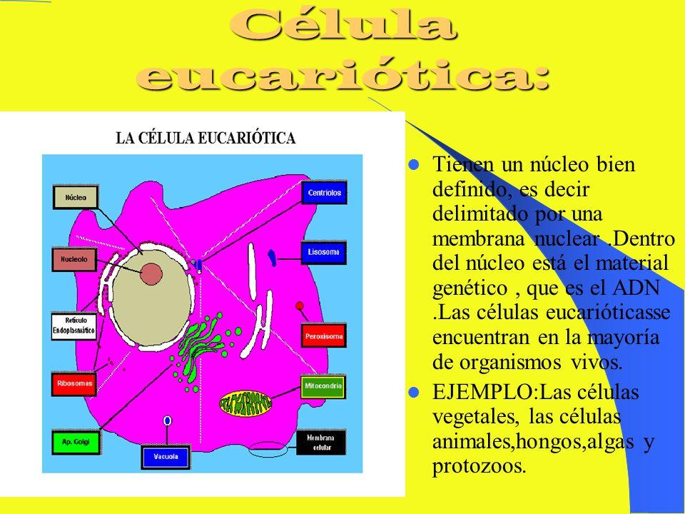 Célula procariótica. -Son células sin núcleo:El material genético es un cromosoma que se localiza disperso en unaregión citoplasmática denominada NUCL