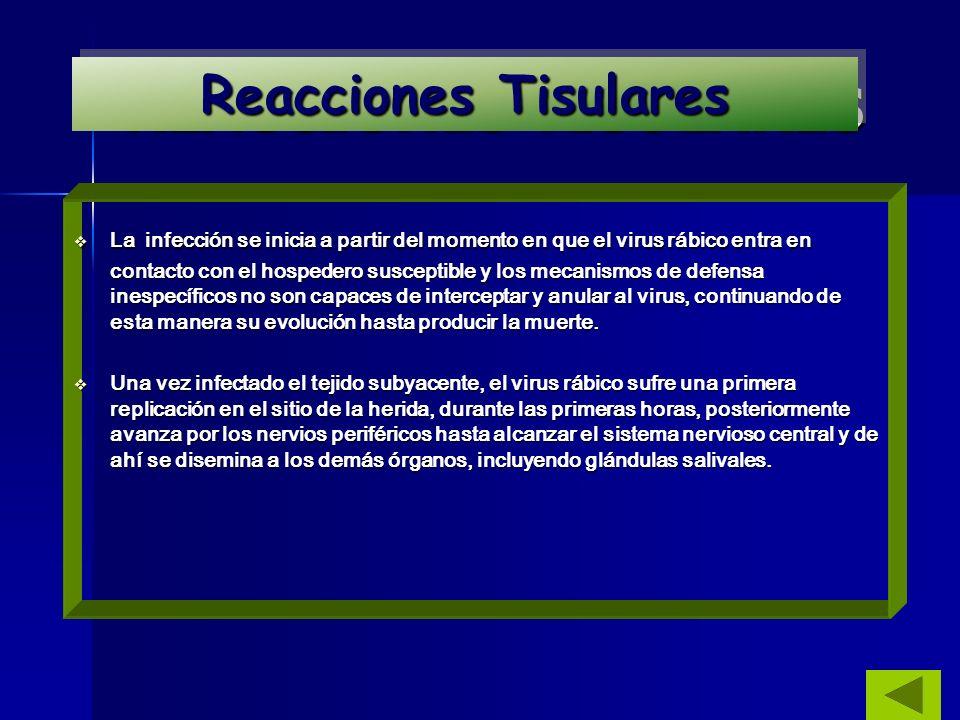 REACCIONES TISULARES La infección se inicia a partir del momento en que el virus rábico entra en contacto con el hospedero susceptible y los mecanismo