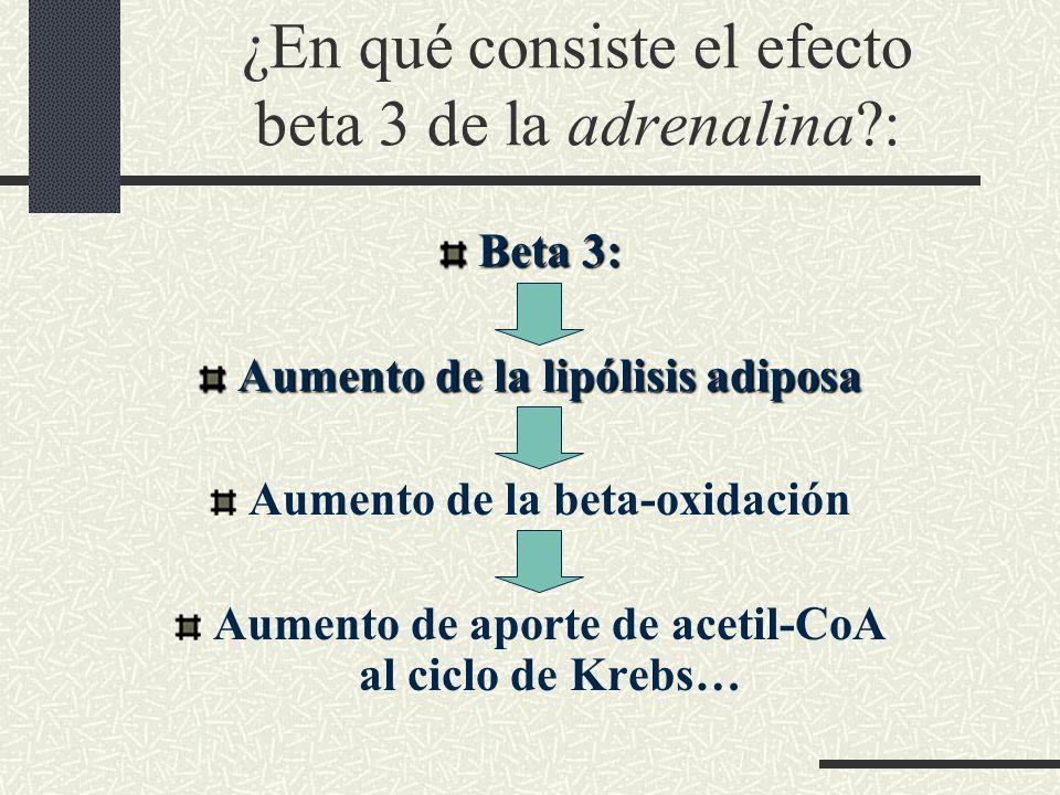 ¿En qué consiste el efecto beta 3 de la adrenalina?: Beta 3: Aumento de la lipólisis adiposa Aumento de la beta-oxidación Aumento de aporte de acetil-