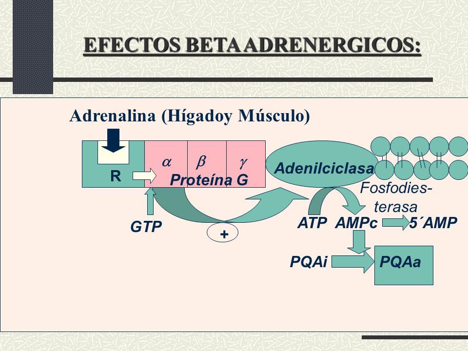 EFECTOS BETA ADRENERGICOS: Adrenalina (Hígadoy Músculo) ATP AMPc 5´AMP PQAi PQAa Proteína G Adenilciclasa GTP Fosfodies- terasa R +