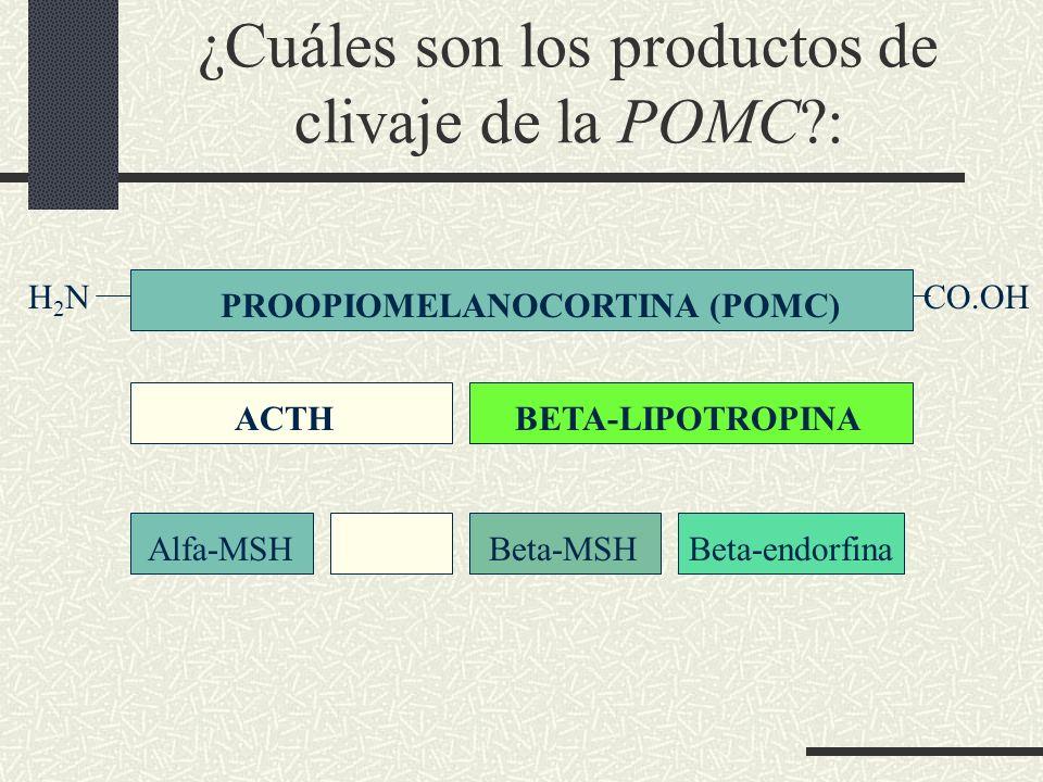 ¿Cuáles son los productos de clivaje de la POMC?: ACTHBETA-LIPOTROPINA PROOPIOMELANOCORTINA (POMC) Alfa-MSHBeta-MSHBeta-endorfina H 2 N CO.OH