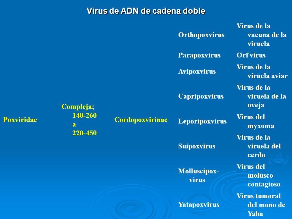 Virus de ADN de cadena doble Poxviridae Compleja; 140-260 a 220-450 Cordopoxvirinae Orthopoxvirus Virus de la vacuna de la viruela ParapoxvirusOrf vir