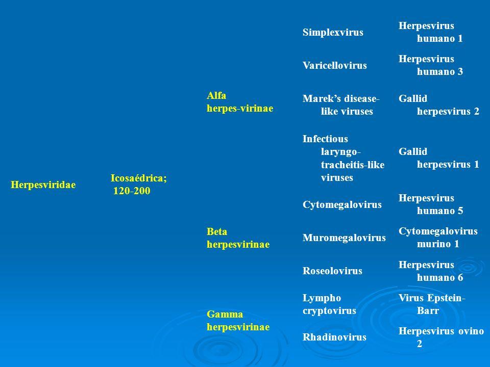 Herpesviridae Icosaédrica; 120-200 Alfa herpes-virinae Simplexvirus Herpesvirus humano 1 Varicellovirus Herpesvirus humano 3 Mareks disease- like viru