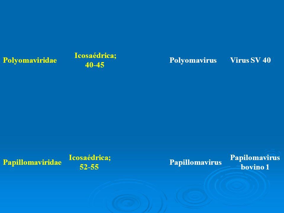 Polyomaviridae Icosaédrica; 40-45 PolyomavirusVirus SV 40 Papillomaviridae Icosaédrica; 52-55 Papillomavirus Papilomavirus bovino 1