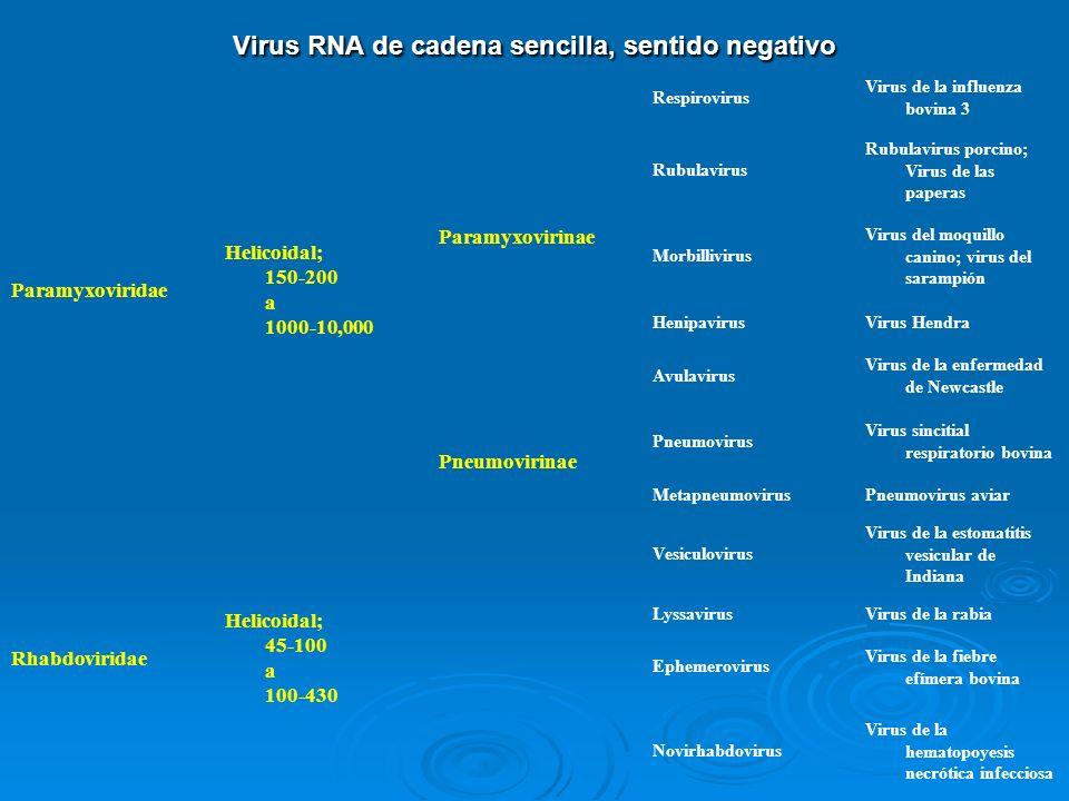 Virus RNA de cadena sencilla, sentido negativo Paramyxoviridae Helicoidal; 150-200 a 1000-10,000 Paramyxovirinae Respirovirus Virus de la influenza bo