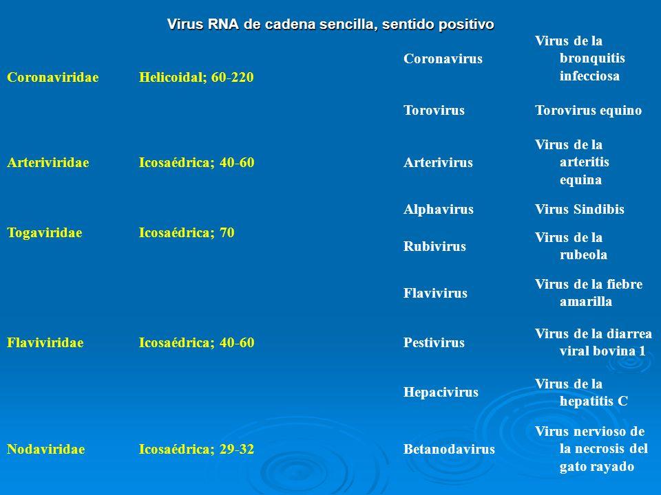Virus RNA de cadena sencilla, sentido positivo CoronaviridaeHelicoidal; 60-220 Coronavirus Virus de la bronquitis infecciosa TorovirusTorovirus equino