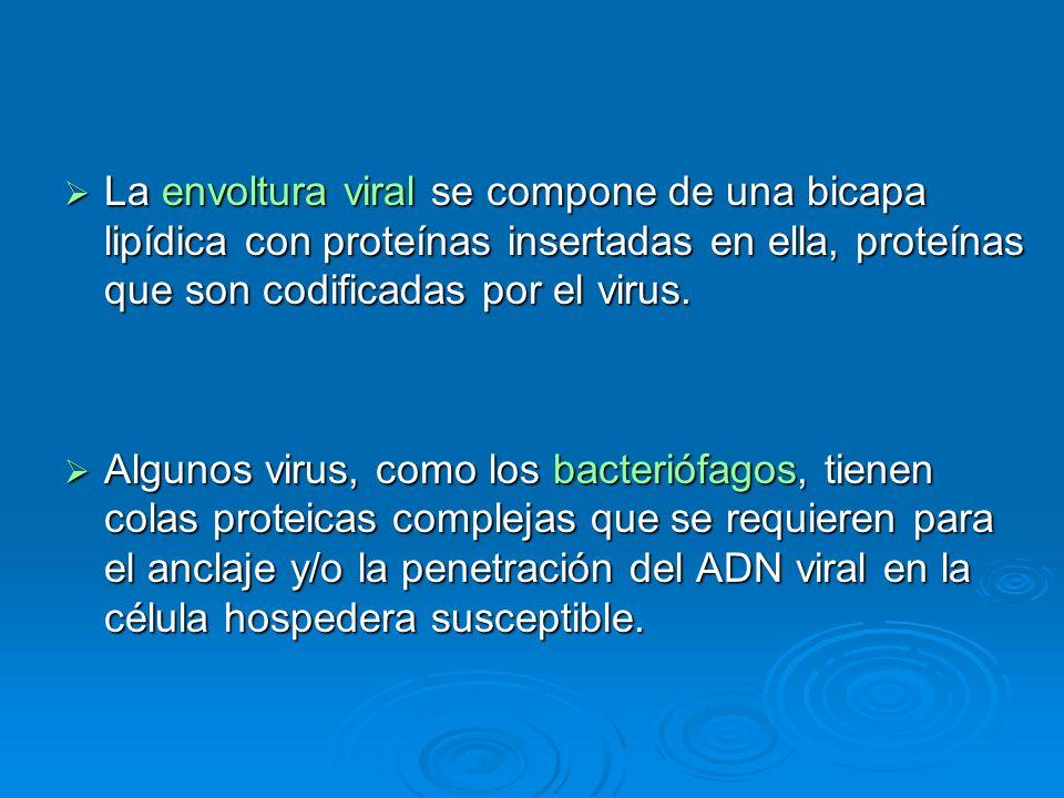 La envoltura viral se compone de una bicapa lipídica con proteínas insertadas en ella, proteínas que son codificadas por el virus. La envoltura viral