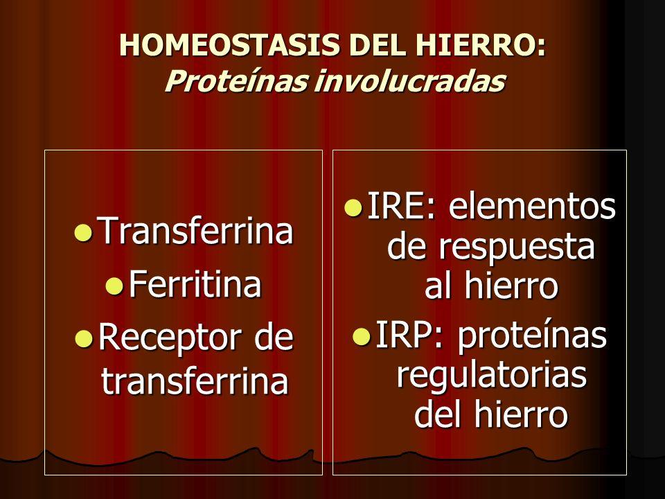 HOMEOSTASIS DEL HIERRO: Proteínas involucradas Transferrina Transferrina Ferritina Ferritina Receptor de transferrina Receptor de transferrina IRE: el