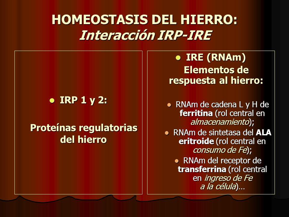 HOMEOSTASIS DEL HIERRO: Interacción IRP-IRE IRP 1 y 2: IRP 1 y 2: Proteínas regulatorias del hierro IRE (RNAm) IRE (RNAm) Elementos de respuesta al hi
