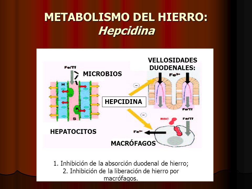 METABOLISMO DEL HIERRO: Hepcidina HEPATOCITOS MACRÓFAGOS VELLOSIDADES DUODENALES: MICROBIOS HEPCIDINA 1. Inhibición de la absorción duodenal de hierro