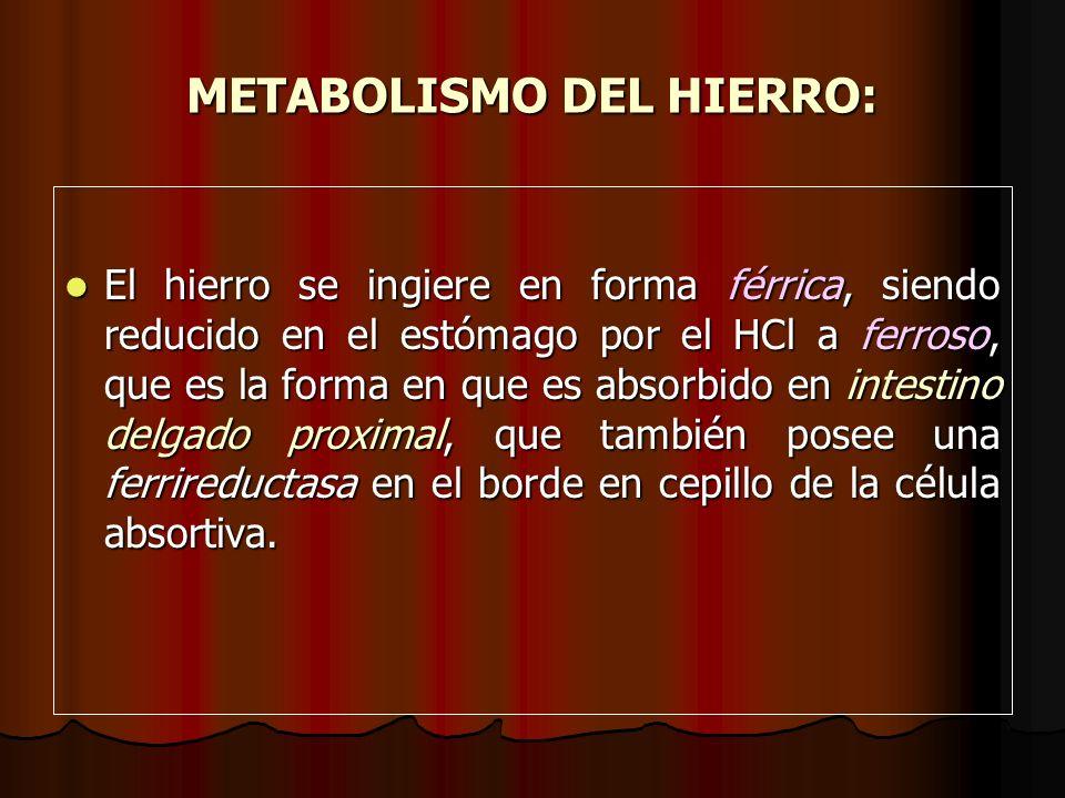METABOLISMO DEL HIERRO: El hierro se ingiere en forma férrica, siendo reducido en el estómago por el HCl a ferroso, que es la forma en que es absorbid