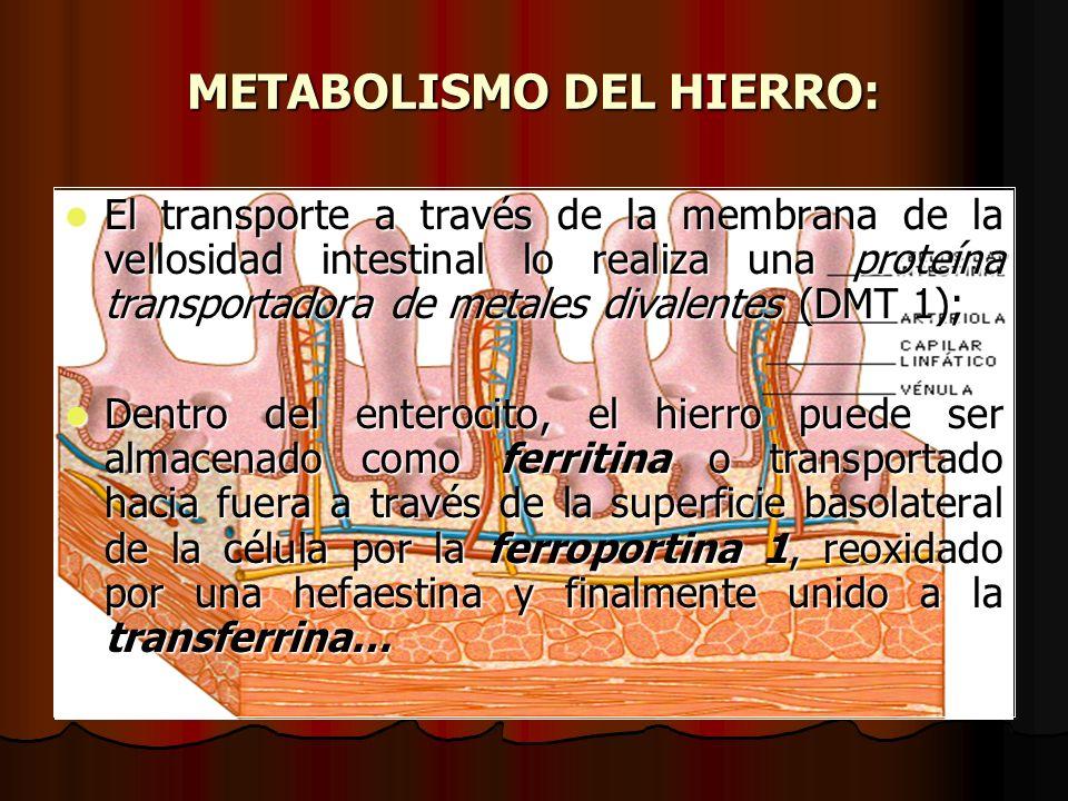 METABOLISMO DEL HIERRO: El transporte a través de la membrana de la vellosidad intestinal lo realiza una proteína transportadora de metales divalentes