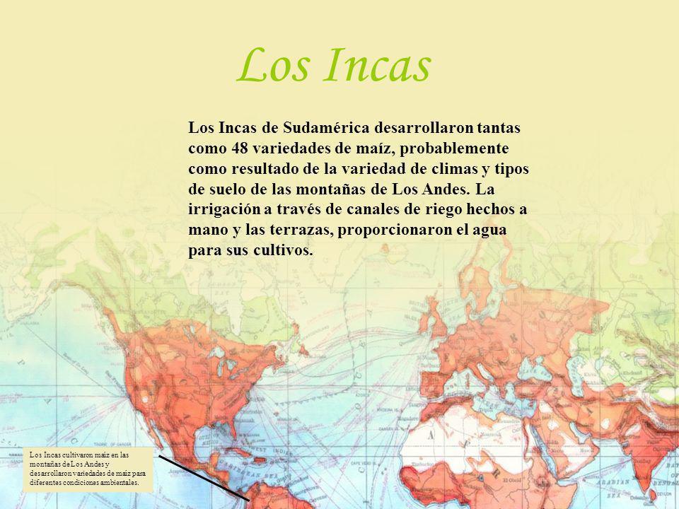 Los Incas de Sudamérica desarrollaron tantas como 48 variedades de maíz, probablemente como resultado de la variedad de climas y tipos de suelo de las
