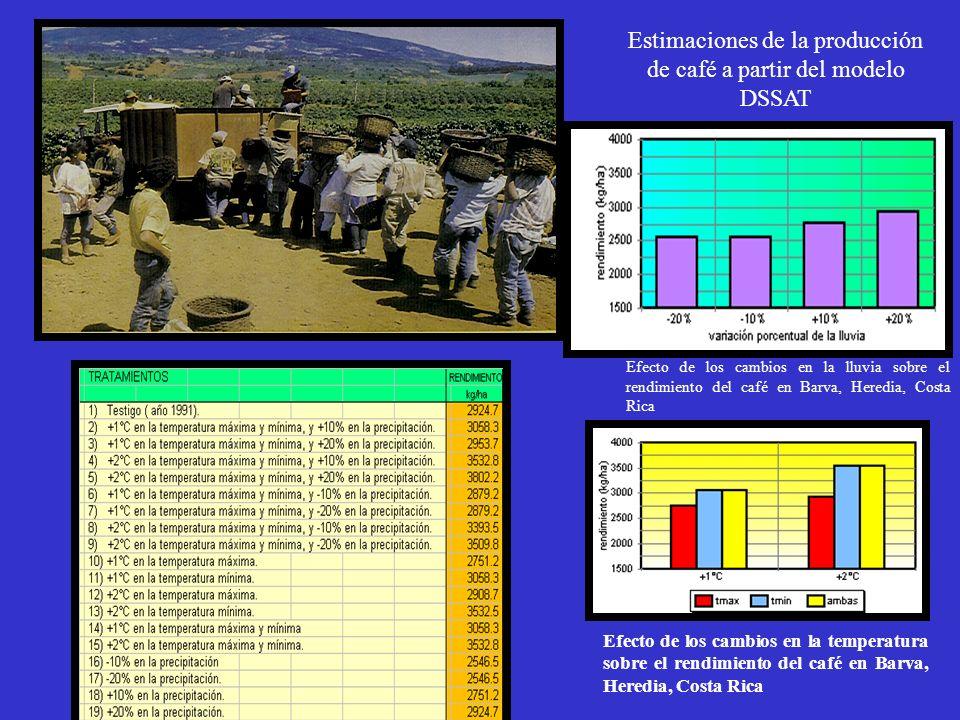 Estimaciones de la producción de café a partir del modelo DSSAT Efecto de los cambios en la lluvia sobre el rendimiento del café en Barva, Heredia, Co