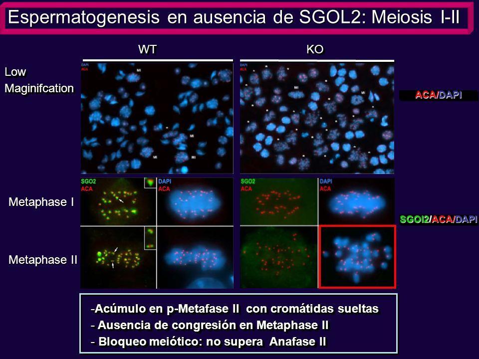 WT KO LowMaginifcationLowMaginifcation Espermatogenesis en ausencia de SGOL2: Meiosis I-II ACA/DAPI De forma mas precisa llevamos a cabo el analisis c