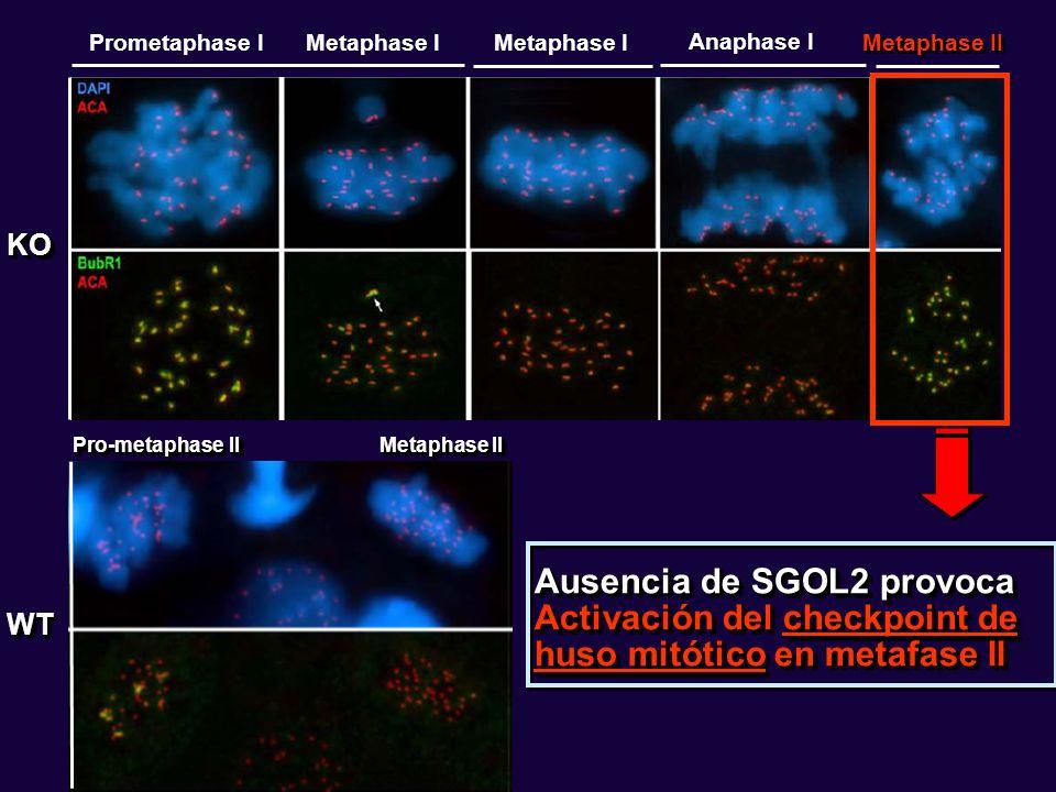KOKO WTWT Pro-metaphase II Metaphase II Ausencia de SGOL2 provoca Activación del checkpoint de huso mitótico en metafase II Prometaphase IMetaphase I