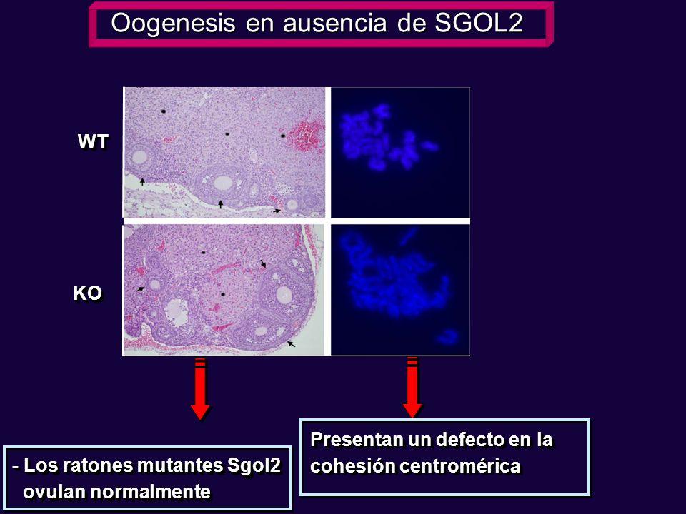 WTWT KOKO - Los ratones mutantes Sgol2 ovulan normalmente ovulan normalmente - Los ratones mutantes Sgol2 ovulan normalmente ovulan normalmente Presen