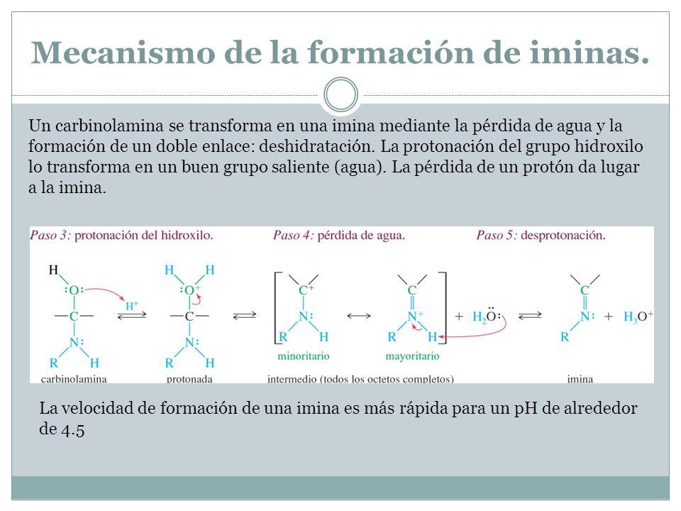 Mecanismo de la formación de iminas. Un carbinolamina se transforma en una imina mediante la pérdida de agua y la formación de un doble enlace: deshid