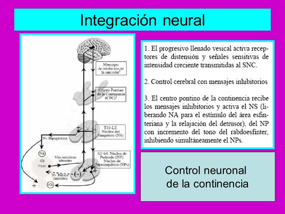 Micción: parasimpático, Actúa sobre receptores mucarínicos localizados en Detrusor Control neuronal de la micción
