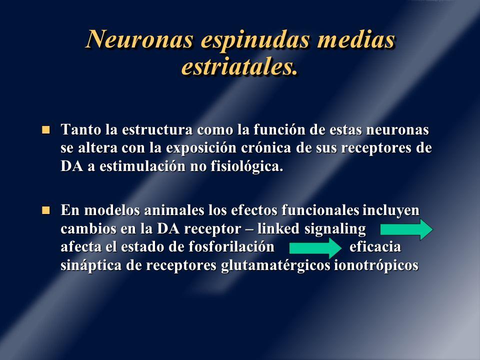 Neuronas espinudas medias estriatales. Tanto la estructura como la función de estas neuronas se altera con la exposición crónica de sus receptores de