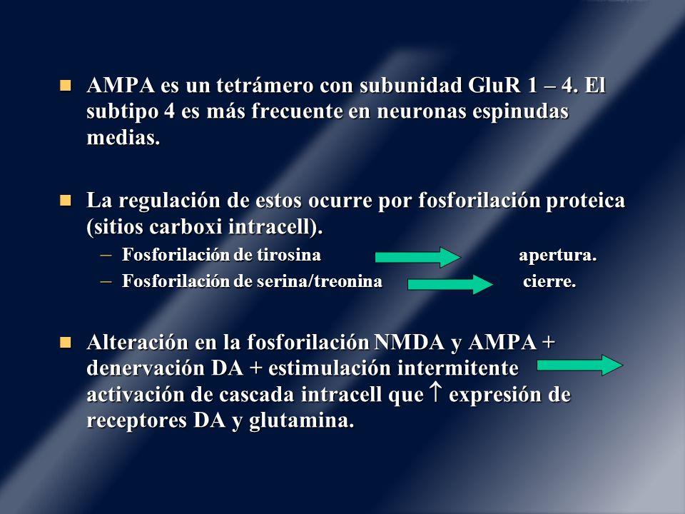 AMPA es un tetrámero con subunidad GluR 1 – 4. El subtipo 4 es más frecuente en neuronas espinudas medias. AMPA es un tetrámero con subunidad GluR 1 –