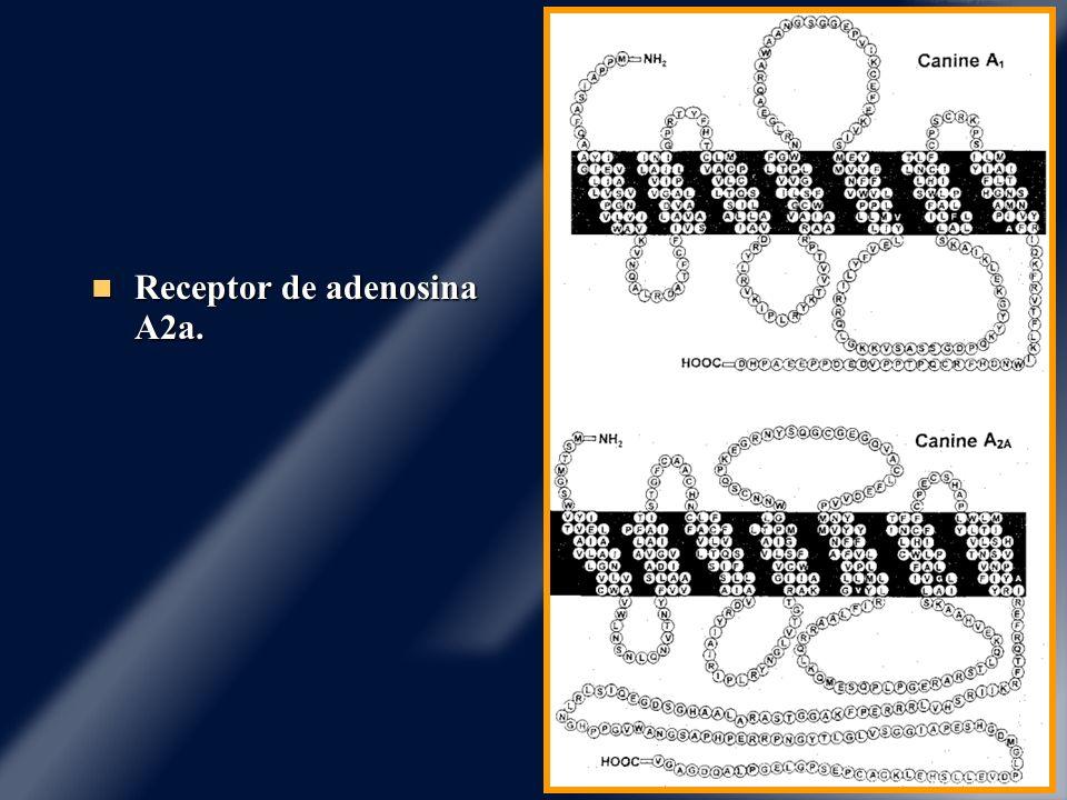 Receptor de adenosina A2a. Receptor de adenosina A2a.