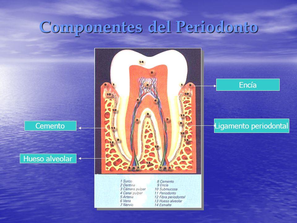 Componentes del Periodonto Ligamento periodontal Hueso alveolar Cemento Encía