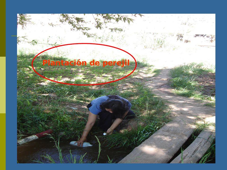 Plantación de perejil