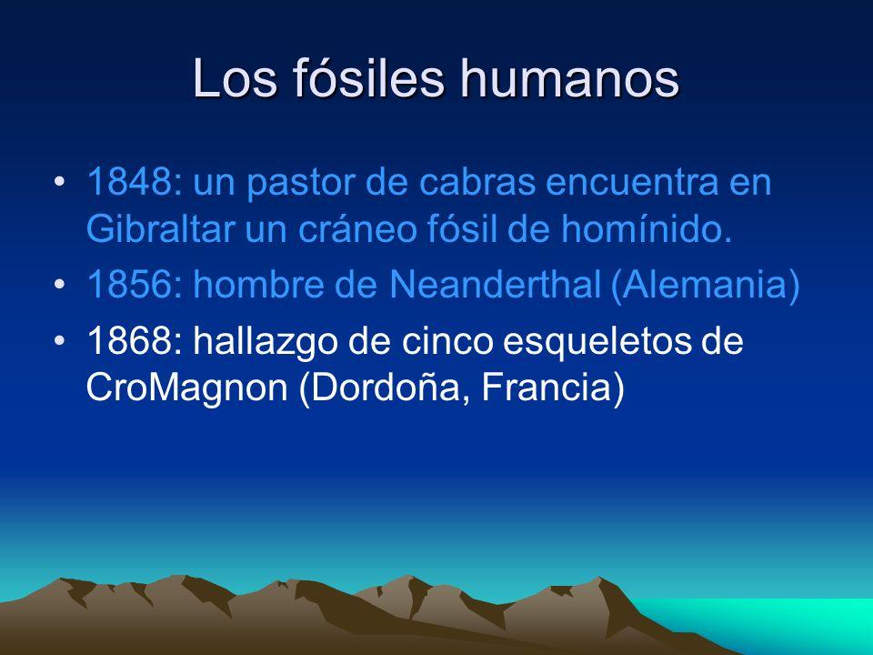 Los fósiles humanos 1848: un pastor de cabras encuentra en Gibraltar un cráneo fósil de homínido. 1856: hombre de Neanderthal (Alemania) 1868: hallazg