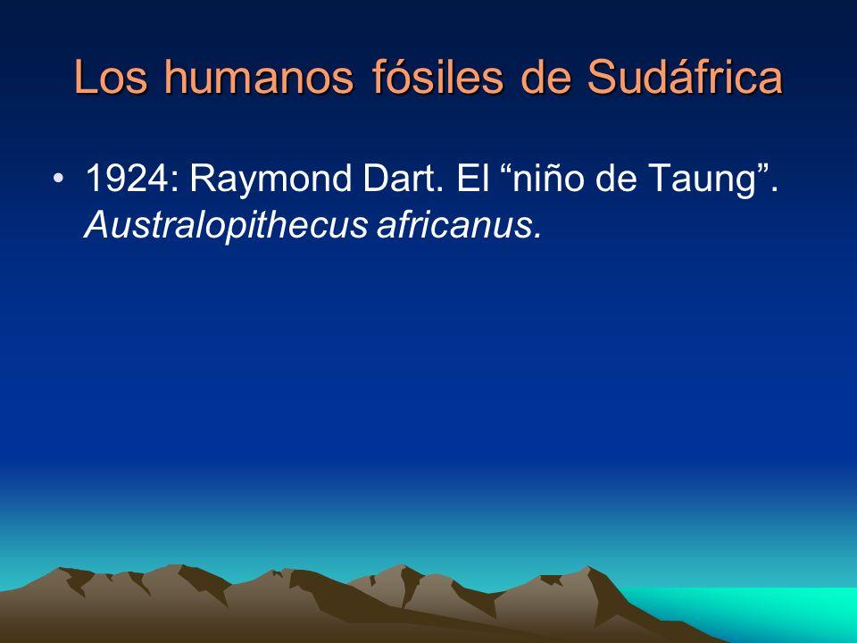 Los humanos fósiles de Sudáfrica 1924: Raymond Dart. El niño de Taung. Australopithecus africanus.