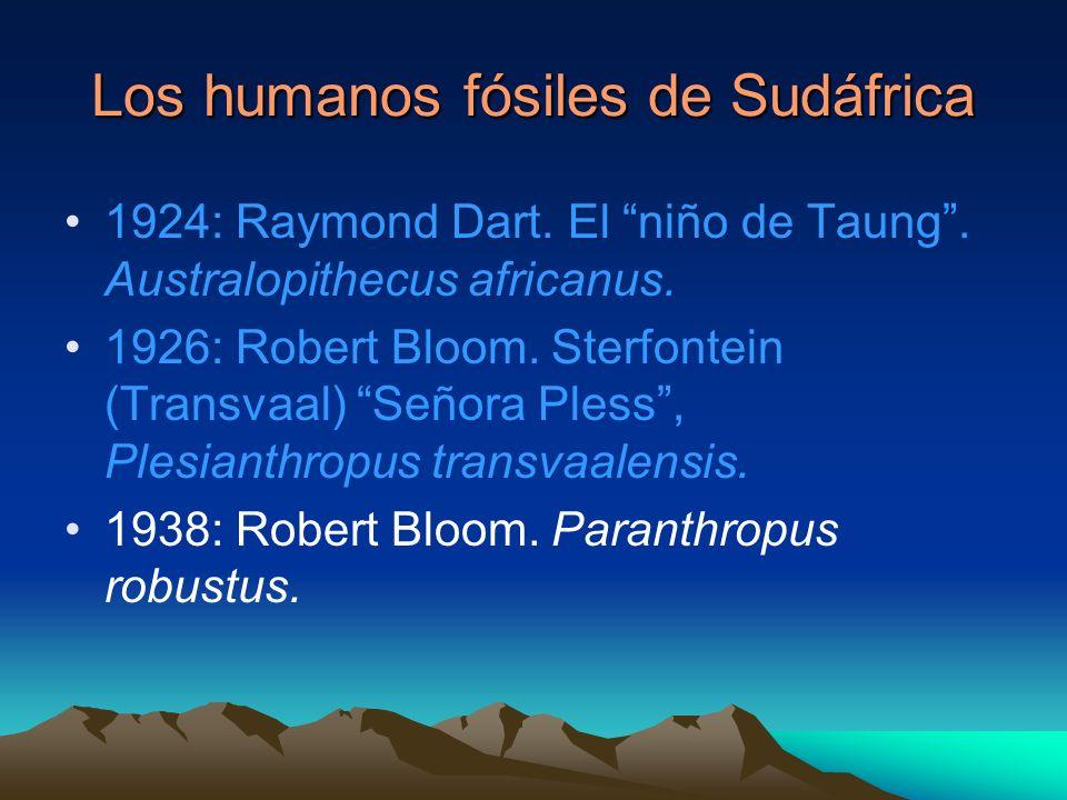 Los humanos fósiles de Sudáfrica 1924: Raymond Dart. El niño de Taung. Australopithecus africanus. 1926: Robert Bloom. Sterfontein (Transvaal) Señora