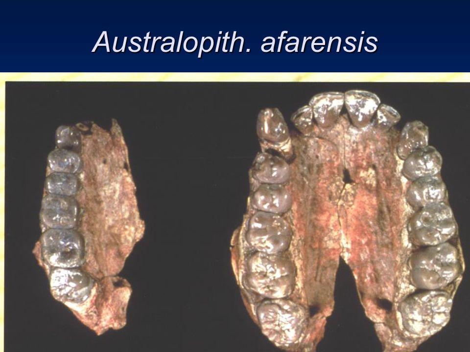 Australopith. afarensis