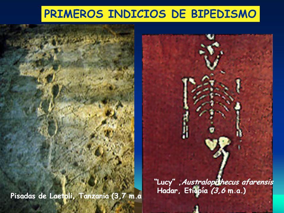 Pisadas de Laetoli, Tanzania (3,7 m.a.) Lucy,Australopithecus afarensis Hadar, Etiopía (3,6 m.a.) PRIMEROS INDICIOS DE BIPEDISMO