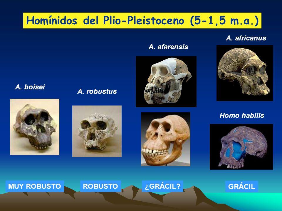 Homínidos del Plio-Pleistoceno (5-1,5 m.a.) A. africanus Homo habilis A. boisei A. robustus A. afarensis MUY ROBUSTOROBUSTO¿GRÁCIL? GRÁCIL