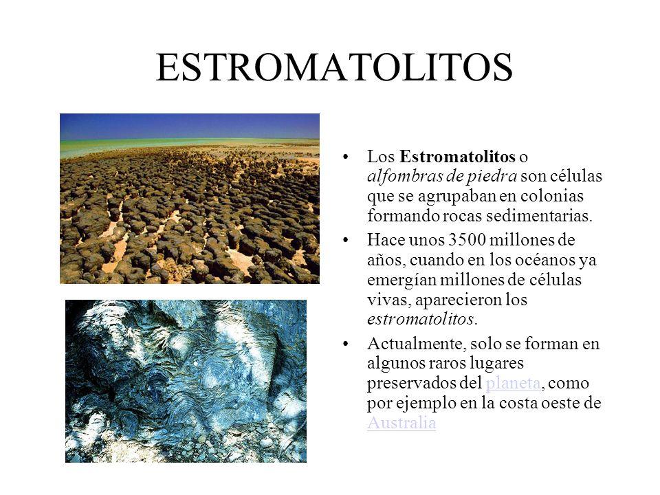 ESTROMATOLITOS Los Estromatolitos o alfombras de piedra son células que se agrupaban en colonias formando rocas sedimentarias. Hace unos 3500 millones
