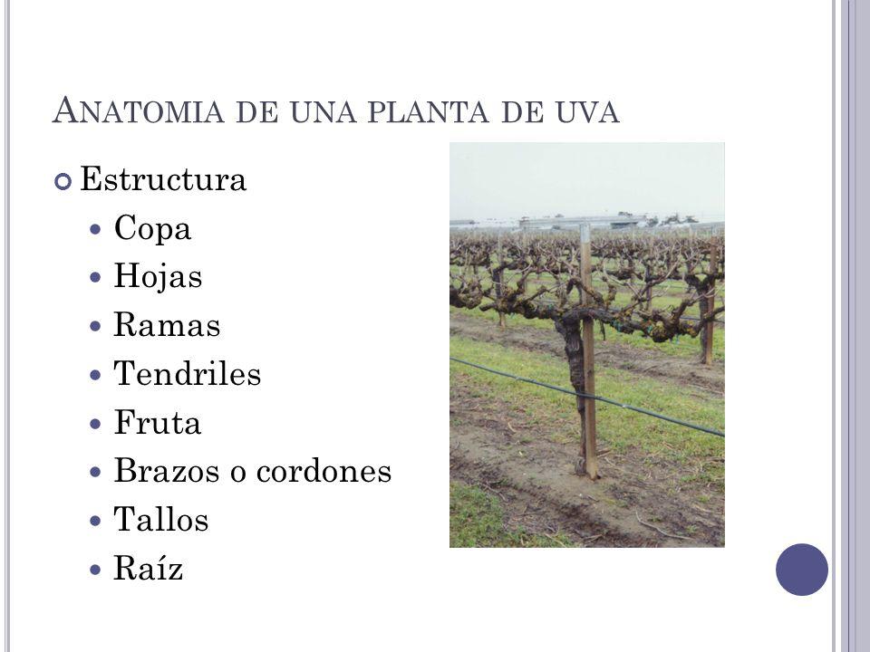 A NATOMIA DE UNA PLANTA DE UVA Estructura Copa Hojas Ramas Tendriles Fruta Brazos o cordones Tallos Raíz