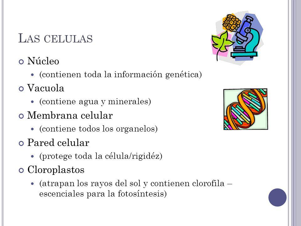 L AS CELULAS Núcleo (contienen toda la información genética) Vacuola (contiene agua y minerales) Membrana celular (contiene todos los organelos) Pared celular (protege toda la célula/rigidéz) Cloroplastos (atrapan los rayos del sol y contienen clorofila – escenciales para la fotosíntesis)