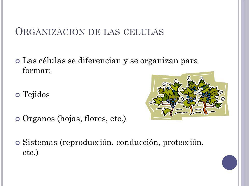 O RGANIZACION DE LAS CELULAS Las células se diferencian y se organizan para formar: Tejidos Organos (hojas, flores, etc.) Sistemas (reproducción, conducción, protección, etc.)