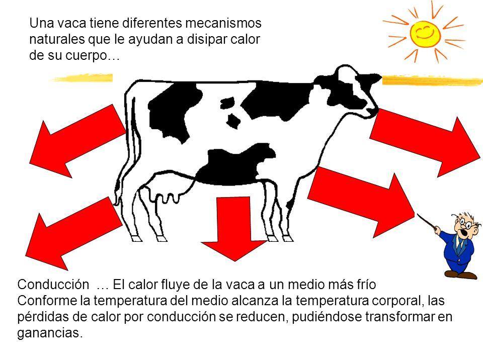 Una vaca tiene diferentes mecanismos naturales que le ayudan a disipar calor de su cuerpo… Conducción … El calor fluye de la vaca a un medio más frío