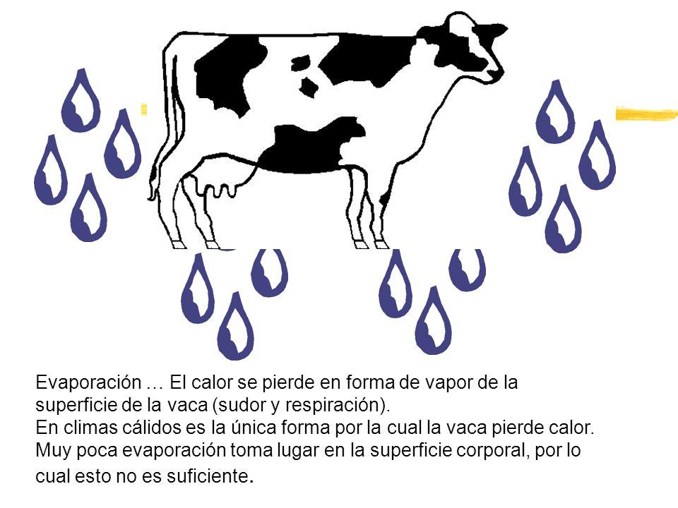 Evaporación … El calor se pierde en forma de vapor de la superficie de la vaca (sudor y respiración). En climas cálidos es la única forma por la cual