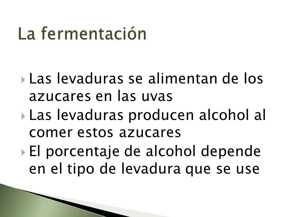 Las levaduras se alimentan de los azucares en las uvas Las levaduras producen alcohol al comer estos azucares El porcentaje de alcohol depende en el t
