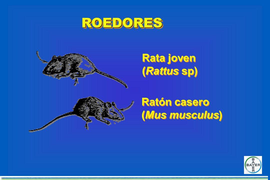 ROEDORESROEDORES Rata parda (Rattus norvegicus) Rata parda (Rattus norvegicus) Rata negra (Rattus rattus) Rata negra (Rattus rattus)