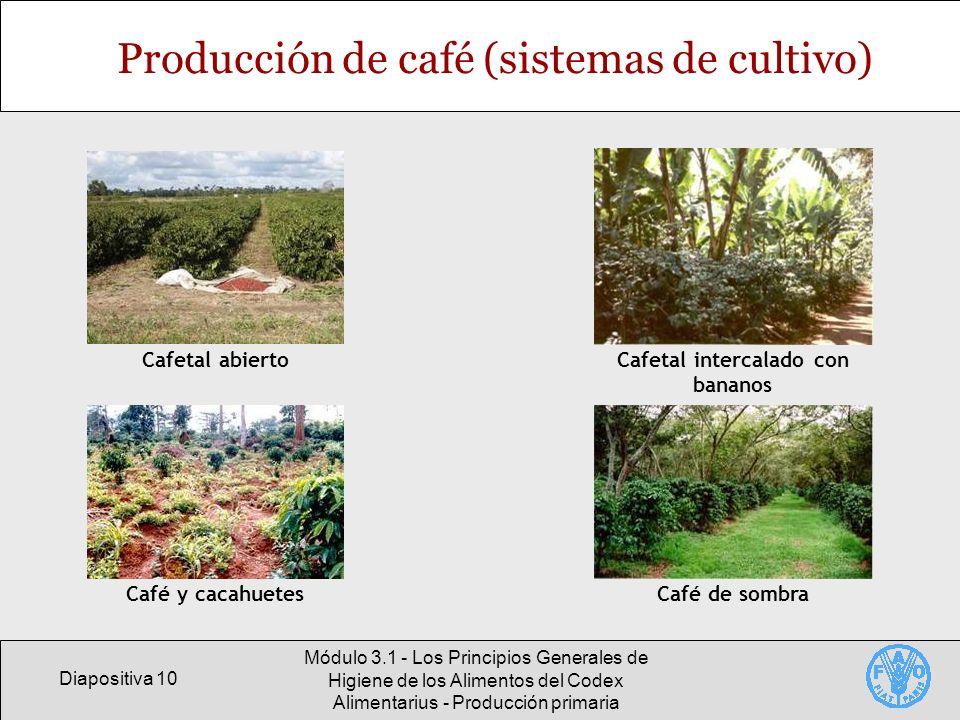 Diapositiva 10 Módulo 3.1 - Los Principios Generales de Higiene de los Alimentos del Codex Alimentarius - Producción primaria Producción de café (sist