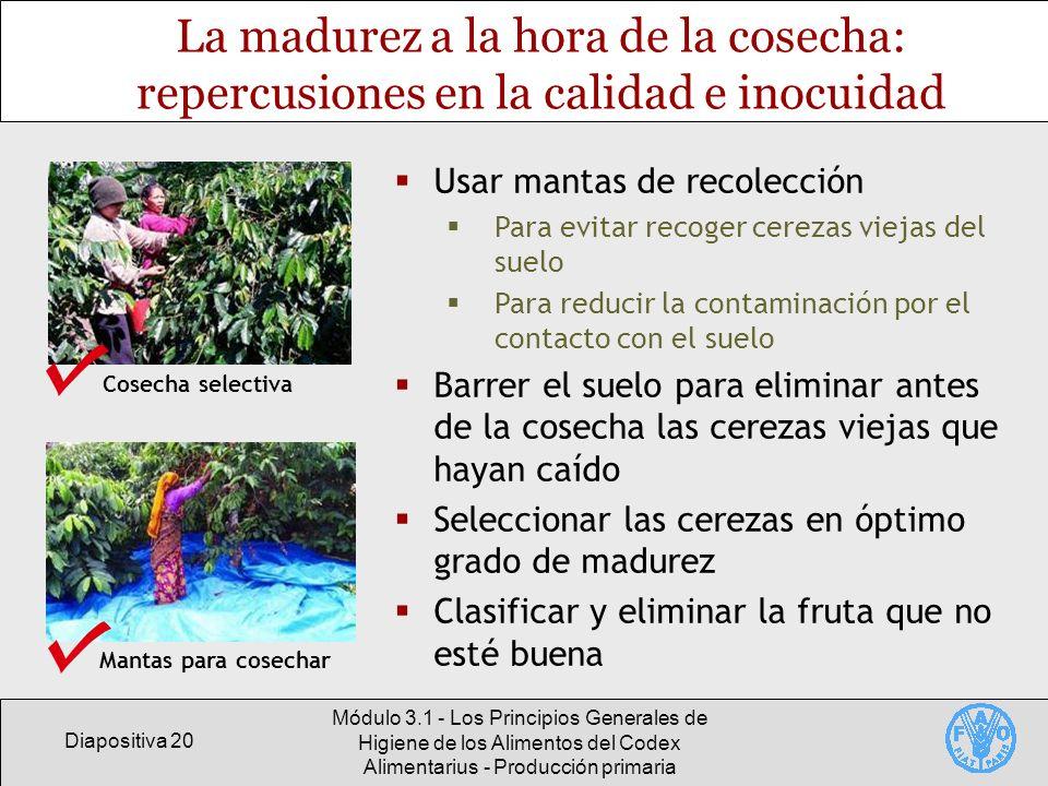 Diapositiva 20 Módulo 3.1 - Los Principios Generales de Higiene de los Alimentos del Codex Alimentarius - Producción primaria La madurez a la hora de