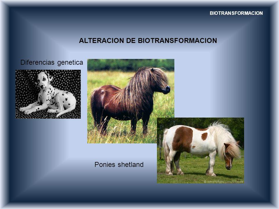 BIOTRANSFORMACION ALTERACION DE BIOTRANSFORMACION Diferencias genetica Ponies shetland