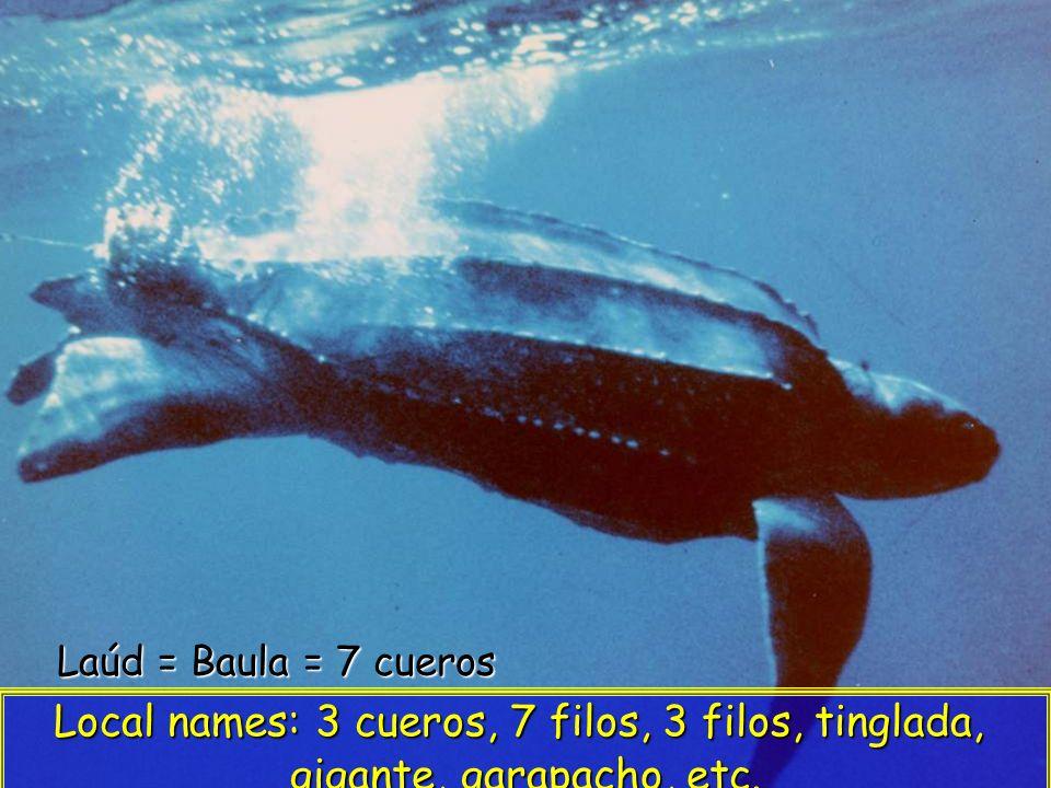 Laúd = Baula = 7 cueros Local names: 3 cueros, 7 filos, 3 filos, tinglada, gigante, garapacho, etc.